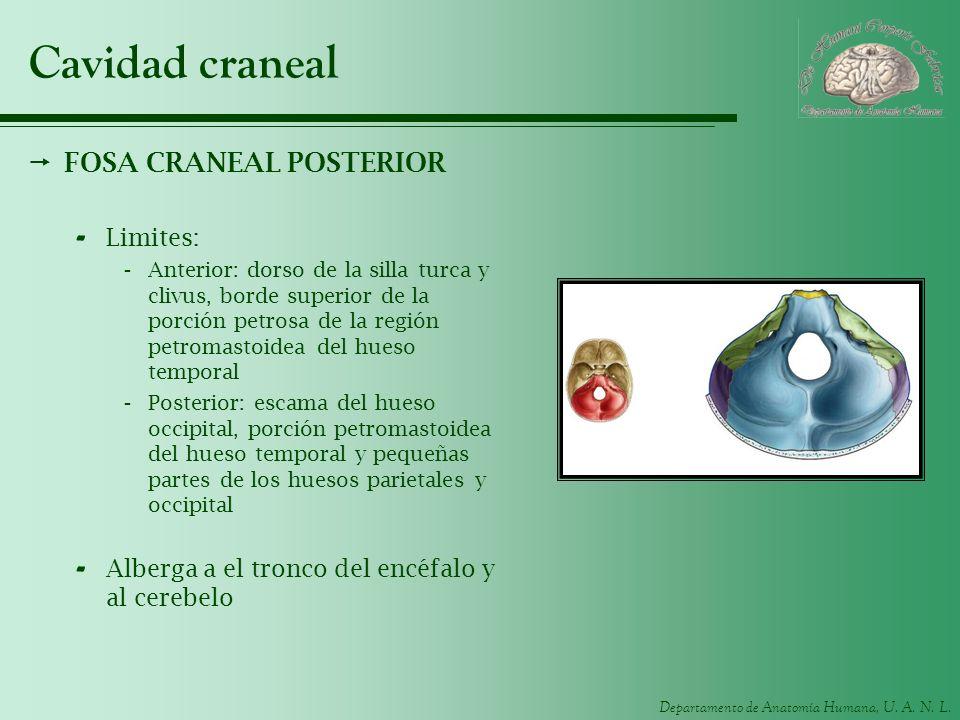 Cavidad craneal FOSA CRANEAL POSTERIOR Limites: