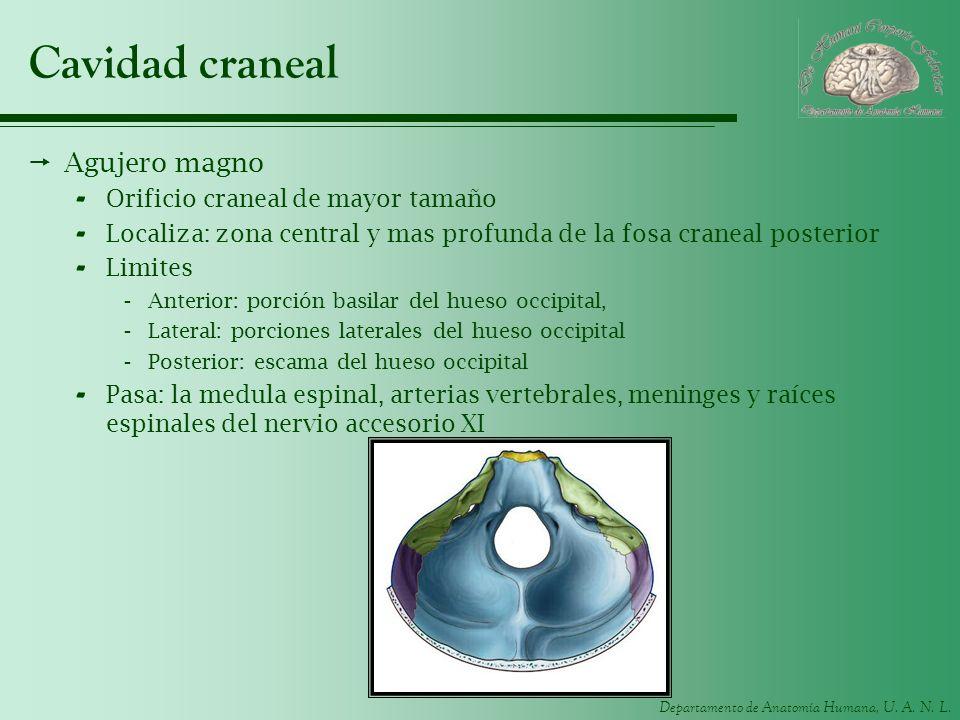 Cavidad craneal Agujero magno Orificio craneal de mayor tamaño