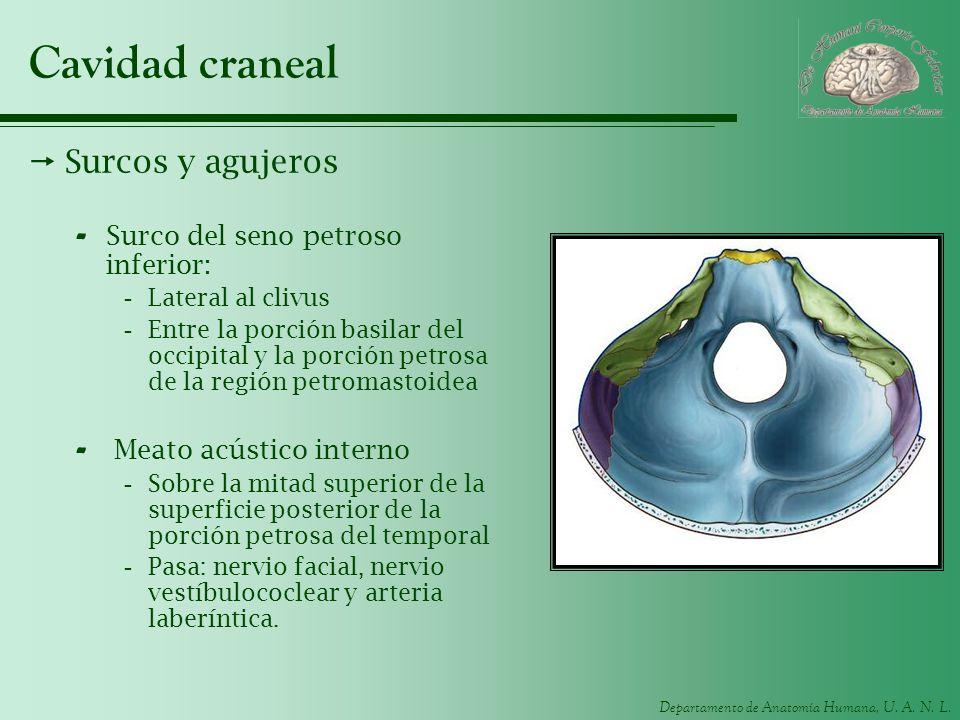 Cavidad craneal Surcos y agujeros Surco del seno petroso inferior: