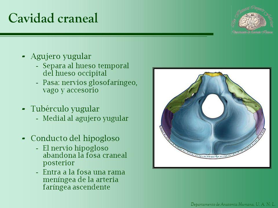 Cavidad craneal Agujero yugular Tubérculo yugular