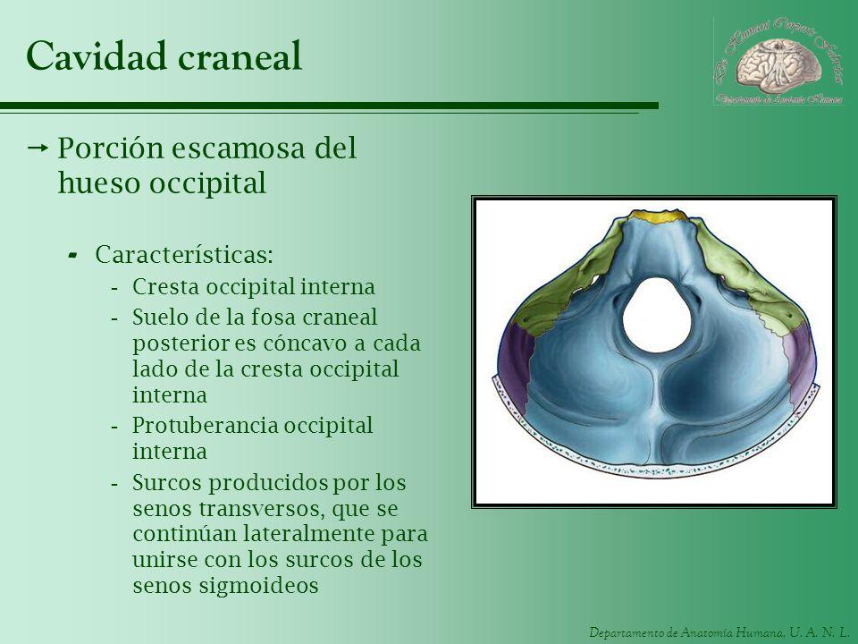 Cavidad craneal Porción escamosa del hueso occipital Características:
