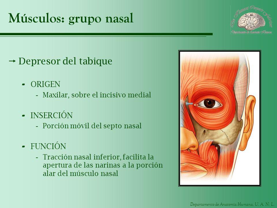 Músculos: grupo nasal Depresor del tabique ORIGEN INSERCIÓN FUNCIÓN