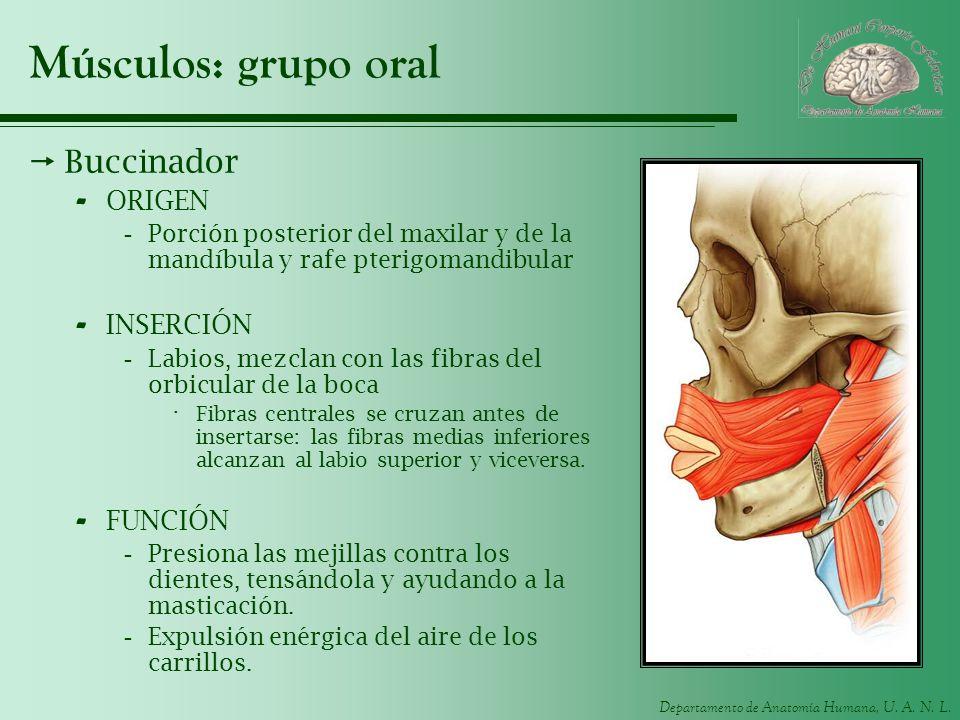 Músculos: grupo oral Buccinador ORIGEN INSERCIÓN FUNCIÓN