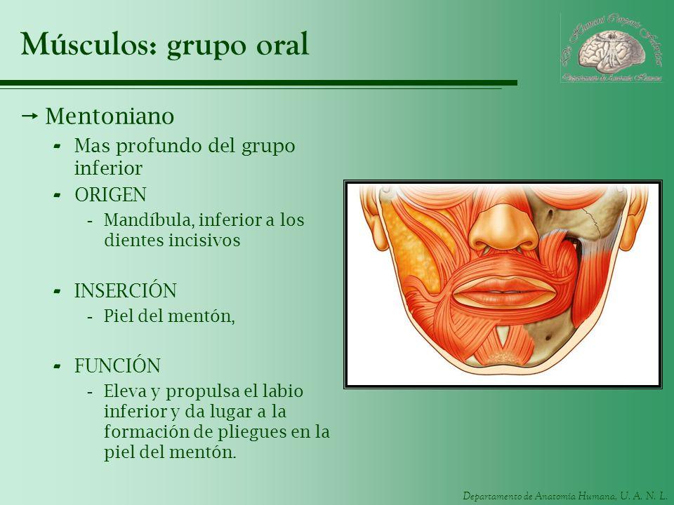 Músculos: grupo oral Mentoniano Mas profundo del grupo inferior ORIGEN