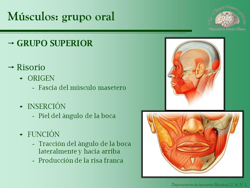 Músculos: grupo oral GRUPO SUPERIOR Risorio ORIGEN INSERCIÓN FUNCIÓN