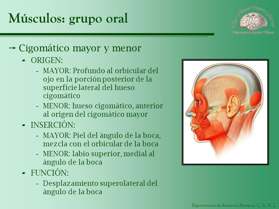 Músculos: grupo oral Cigomático mayor y menor ORIGEN: INSERCIÓN:
