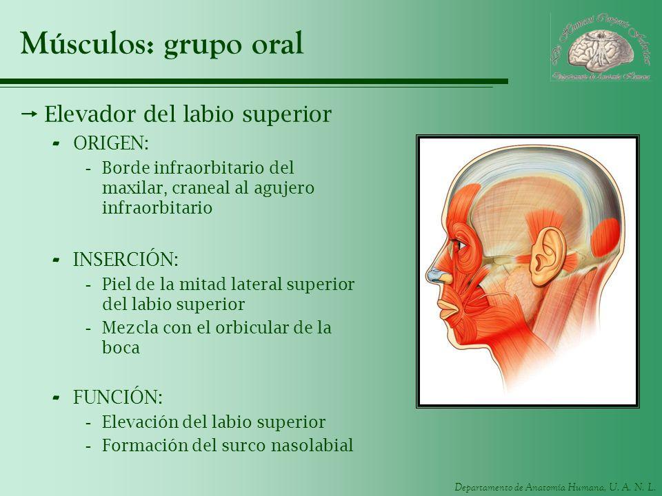 Músculos: grupo oral Elevador del labio superior ORIGEN: INSERCIÓN: