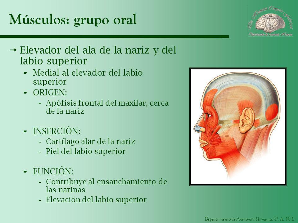 Músculos: grupo oral Elevador del ala de la nariz y del labio superior