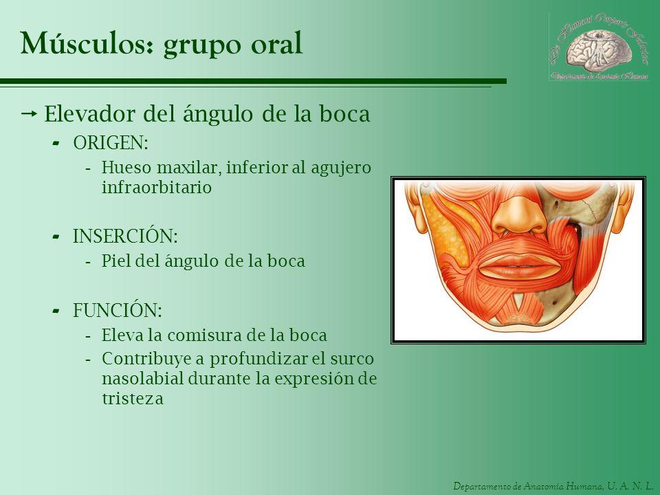 Músculos: grupo oral Elevador del ángulo de la boca ORIGEN: INSERCIÓN: