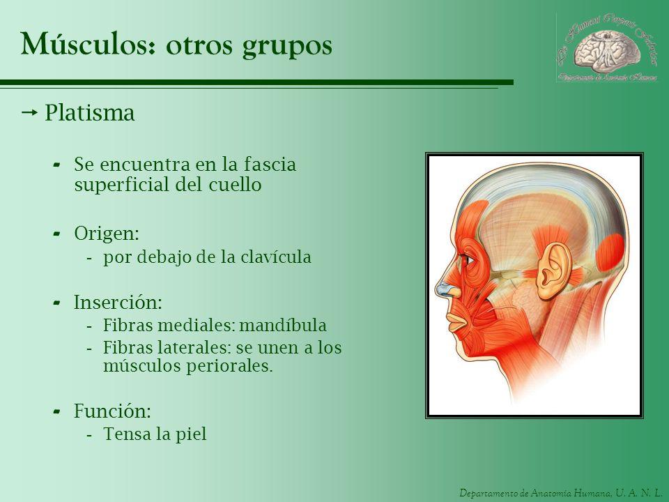 Músculos: otros grupos