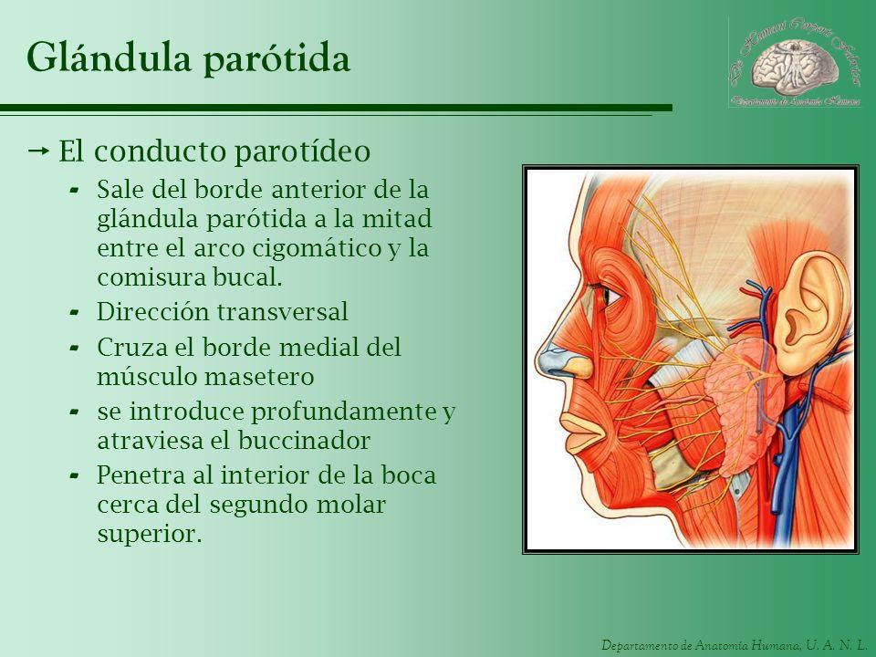 Glándula parótida El conducto parotídeo