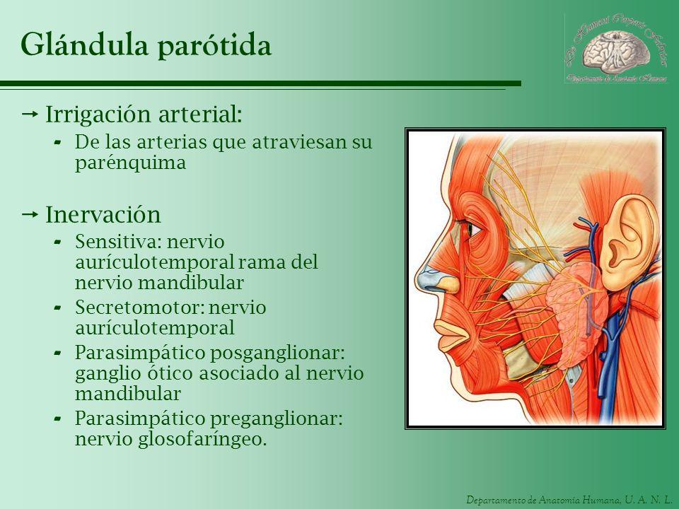 Glándula parótida Irrigación arterial: Inervación