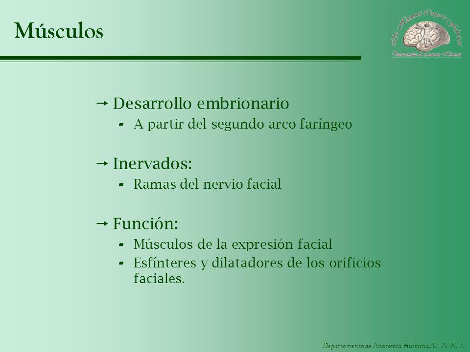 Músculos Desarrollo embrionario Inervados: Función: