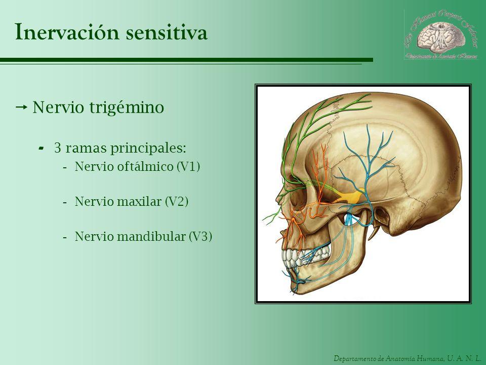 Inervación sensitiva Nervio trigémino 3 ramas principales: