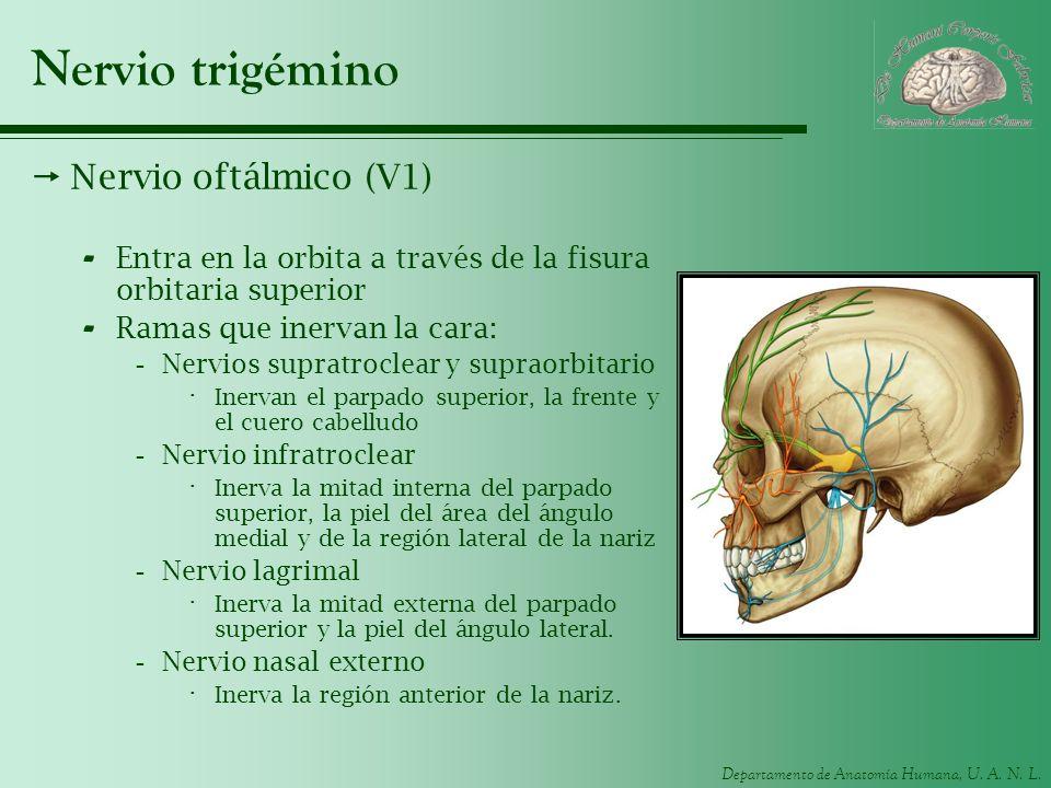 Nervio trigémino Nervio oftálmico (V1)