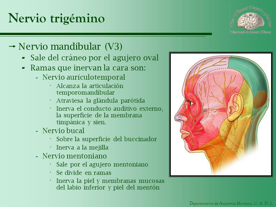 Nervio trigémino Nervio mandibular (V3)