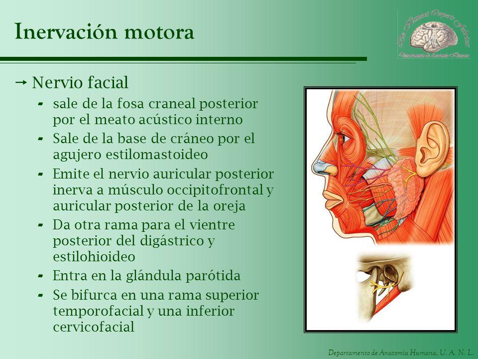 Inervación motora Nervio facial