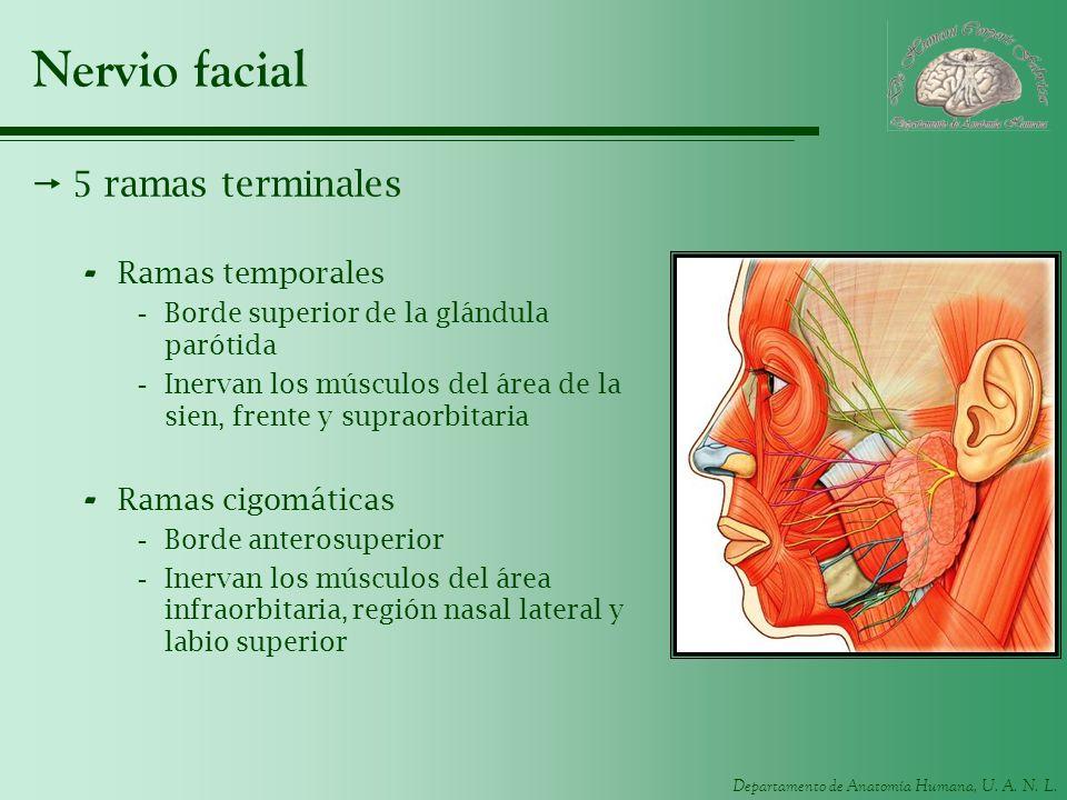Nervio facial 5 ramas terminales Ramas temporales Ramas cigomáticas