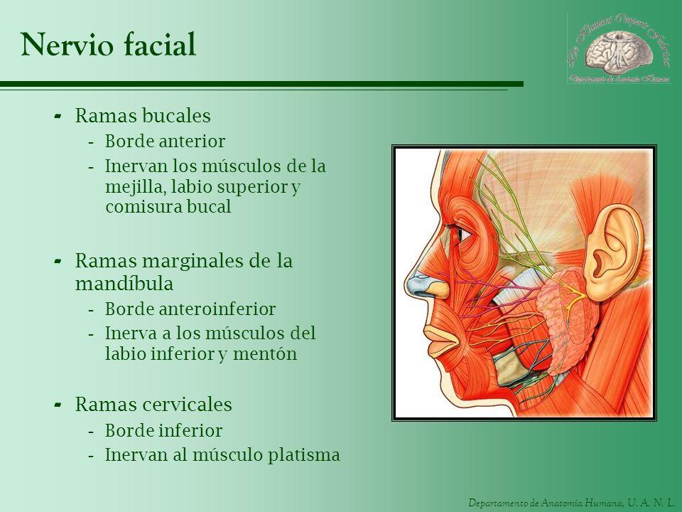 Nervio facial Ramas bucales Ramas marginales de la mandíbula