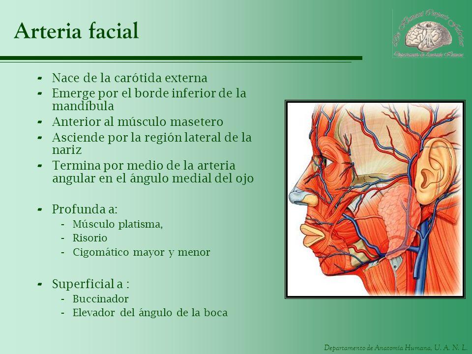Arteria facial Nace de la carótida externa
