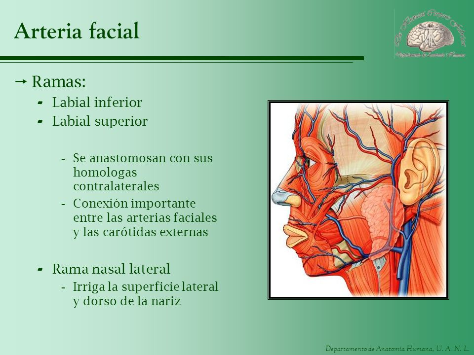 Arteria facial Ramas: Labial inferior Labial superior