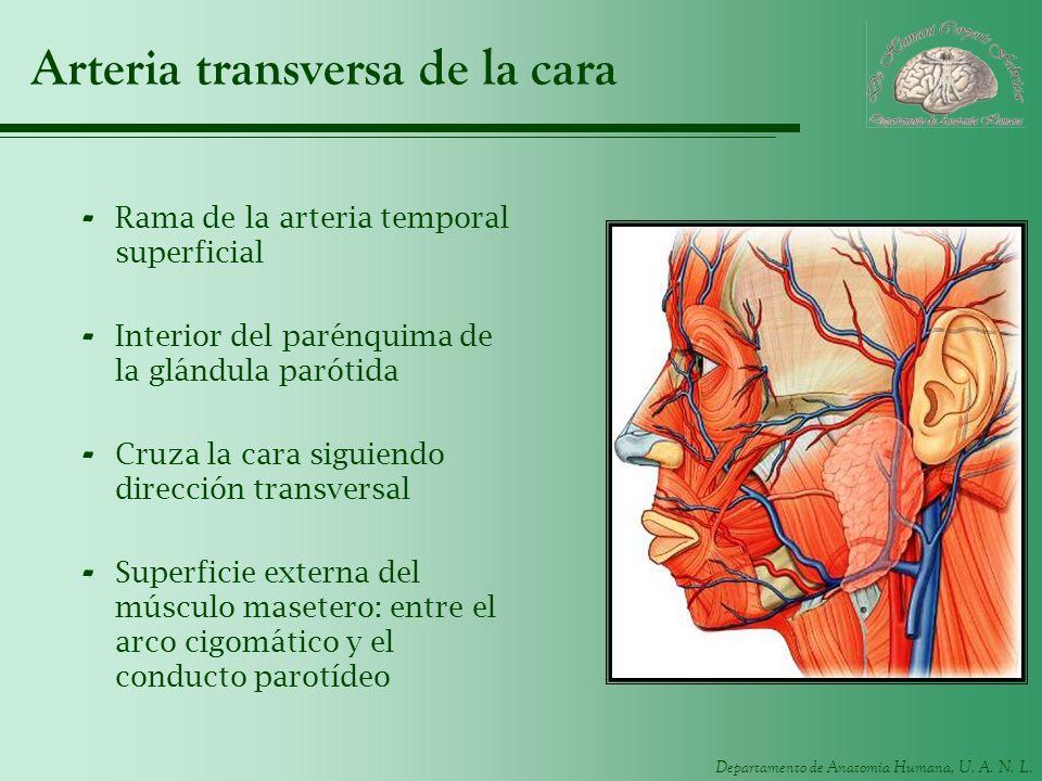 Arteria transversa de la cara