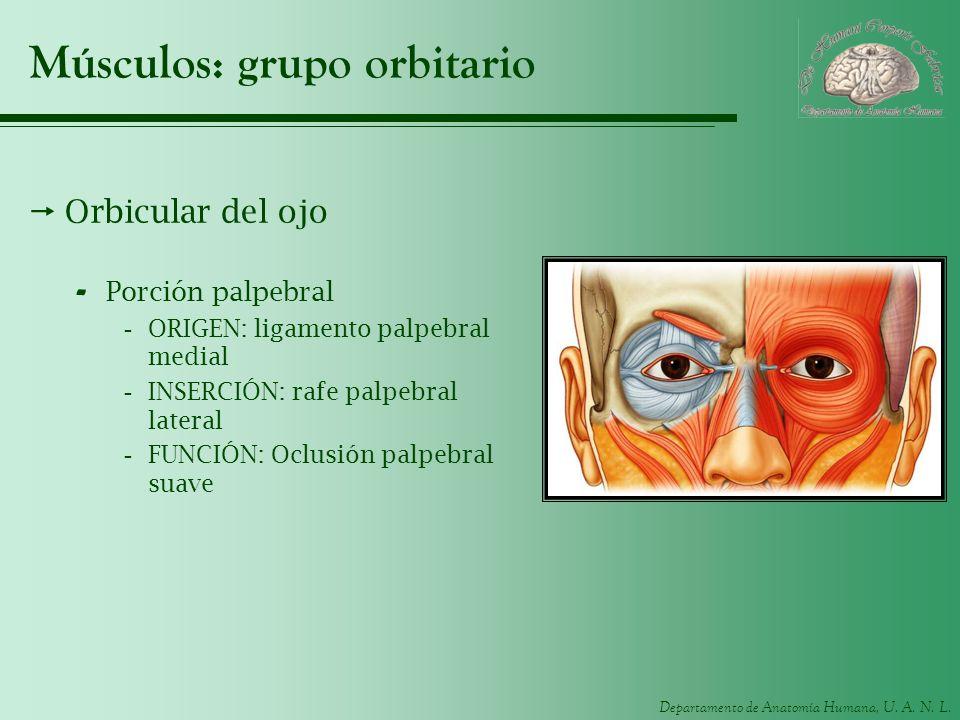 Músculos: grupo orbitario