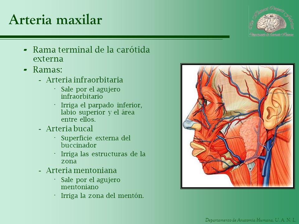Arteria maxilar Rama terminal de la carótida externa Ramas: