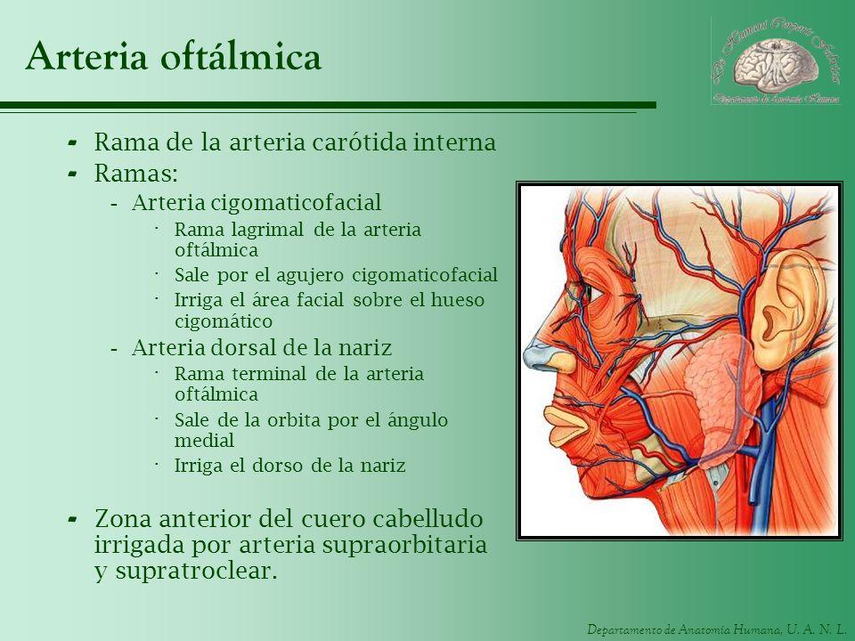 Arteria oftálmica Rama de la arteria carótida interna Ramas: