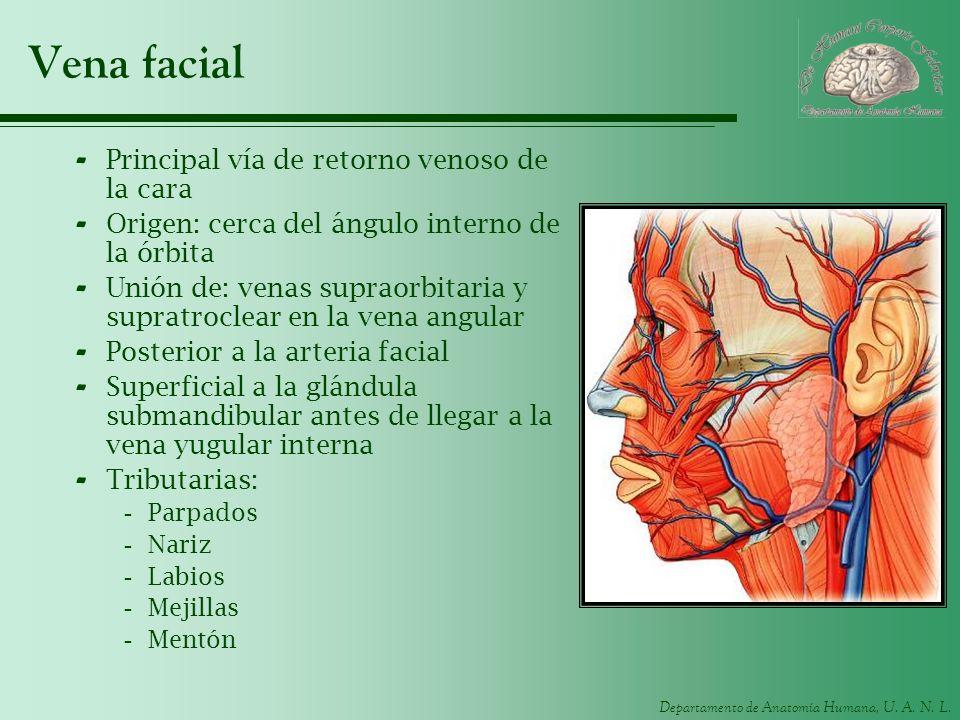 Vena facial Principal vía de retorno venoso de la cara