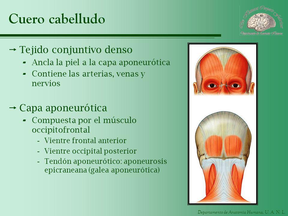 Cuero cabelludo Tejido conjuntivo denso Capa aponeurótica