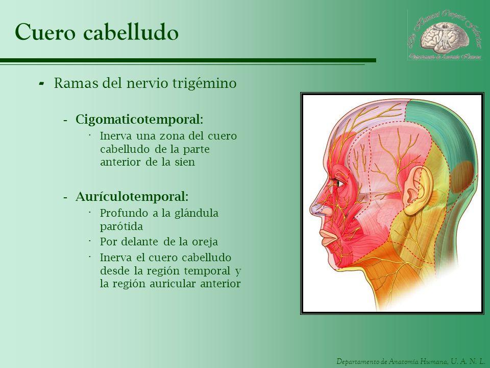 Cuero cabelludo Ramas del nervio trigémino Cigomaticotemporal: