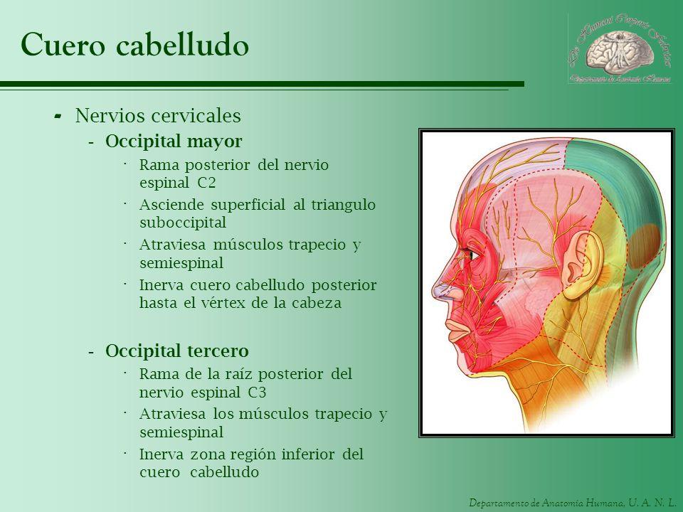 Cuero cabelludo Nervios cervicales Occipital mayor Occipital tercero