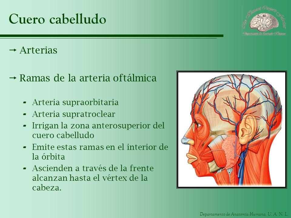 Cuero cabelludo Arterias Ramas de la arteria oftálmica