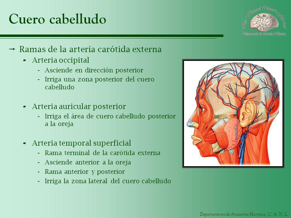 Cuero cabelludo Ramas de la arteria carótida externa Arteria occipital
