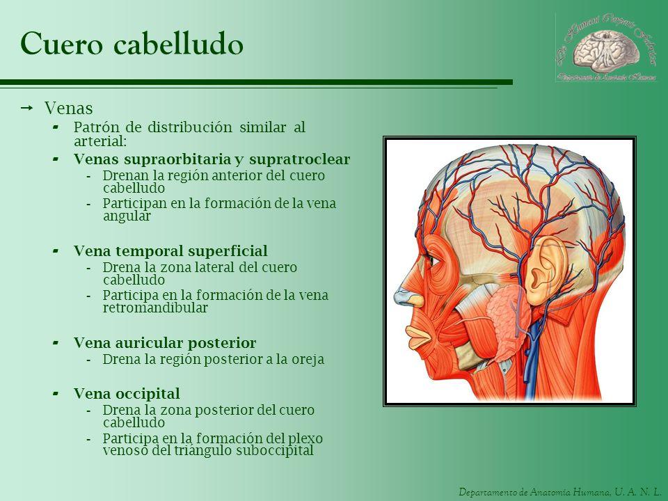 Cuero cabelludo Venas Patrón de distribución similar al arterial: