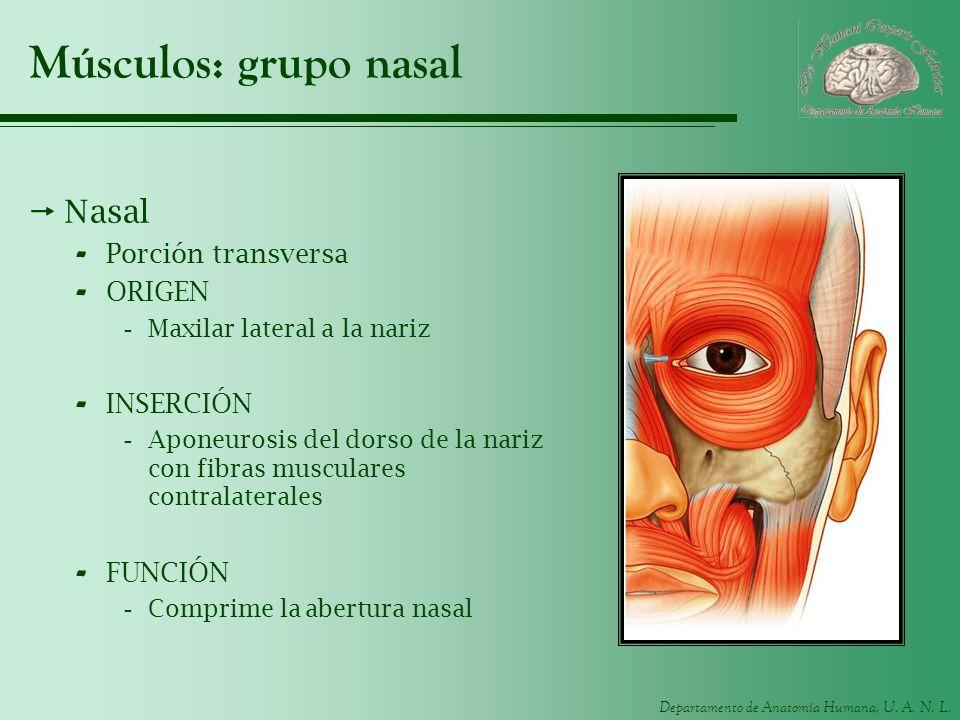Músculos: grupo nasal Nasal Porción transversa ORIGEN INSERCIÓN