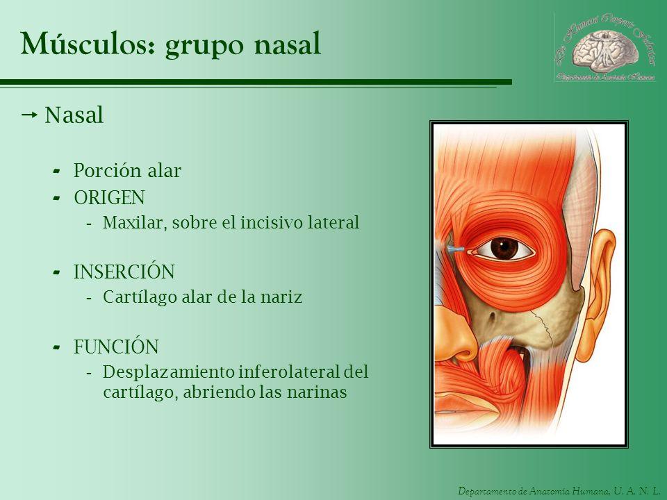 Músculos: grupo nasal Nasal Porción alar ORIGEN INSERCIÓN FUNCIÓN