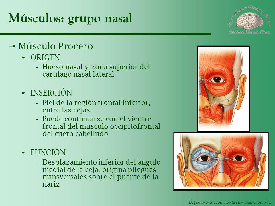 Músculos: grupo nasal Músculo Procero ORIGEN INSERCIÓN FUNCIÓN