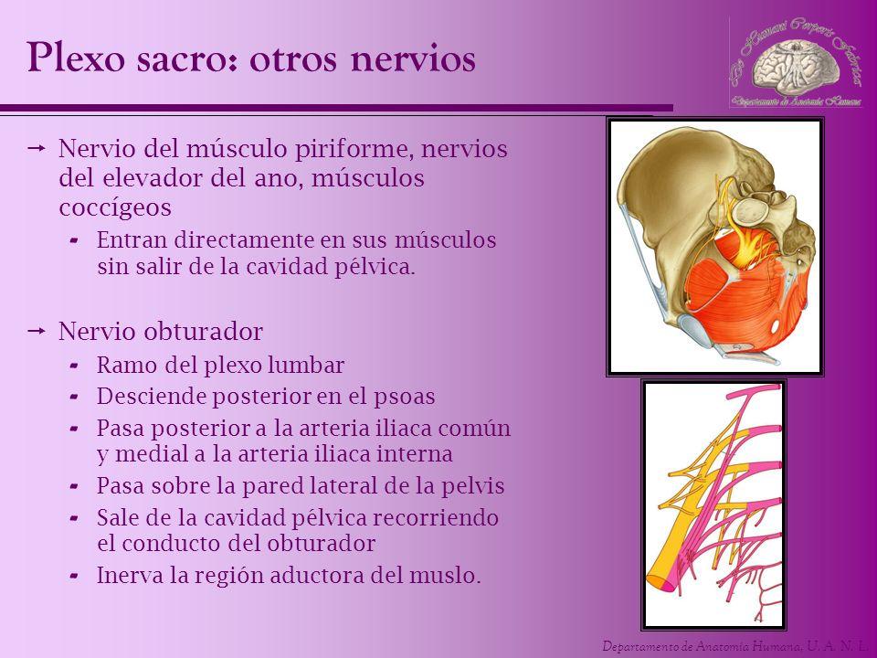 Plexo sacro: otros nervios
