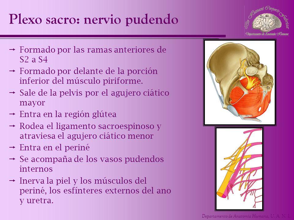 Plexo sacro: nervio pudendo