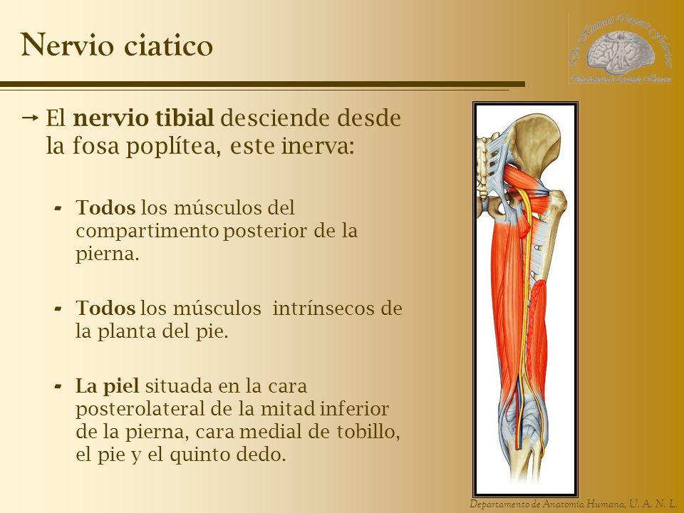 Nervio ciatico El nervio tibial desciende desde la fosa poplítea, este inerva: Todos los músculos del compartimento posterior de la pierna.