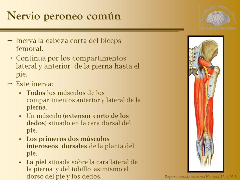 Nervio peroneo común Inerva la cabeza corta del bíceps femoral.