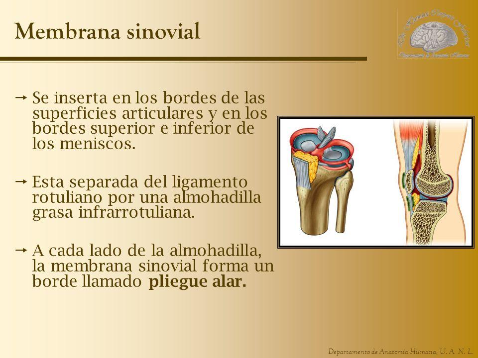 Membrana sinovialSe inserta en los bordes de las superficies articulares y en los bordes superior e inferior de los meniscos.