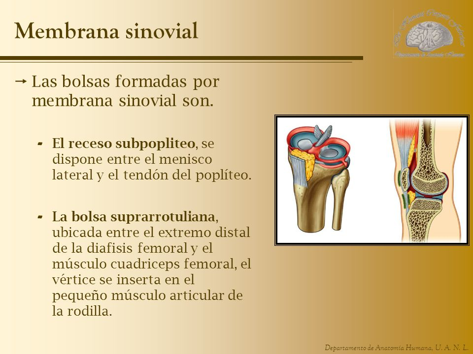 Membrana sinovial Las bolsas formadas por membrana sinovial son.