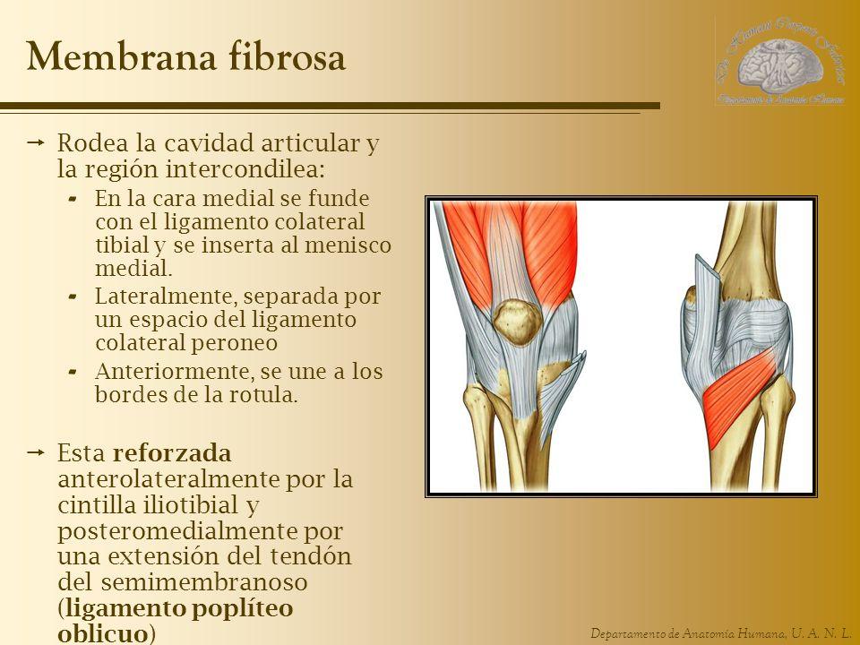 Membrana fibrosa Rodea la cavidad articular y la región intercondilea: