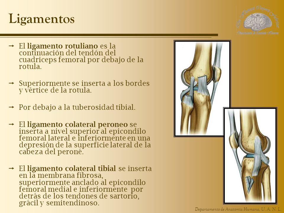 LigamentosEl ligamento rotuliano es la continuación del tendón del cuadriceps femoral por debajo de la rotula.