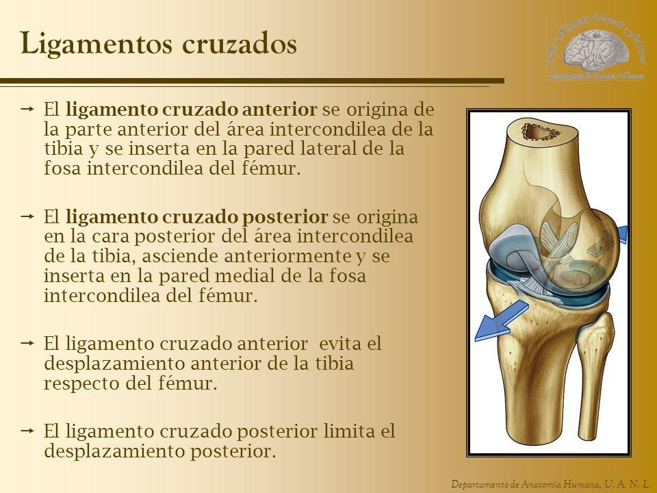Moderno Anatomía Ligamento Cruzado Molde - Anatomía de Las ...