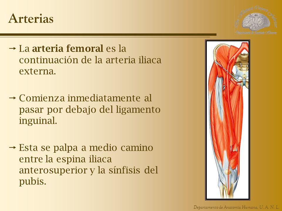 Arterias La arteria femoral es la continuación de la arteria iliaca externa. Comienza inmediatamente al pasar por debajo del ligamento inguinal.