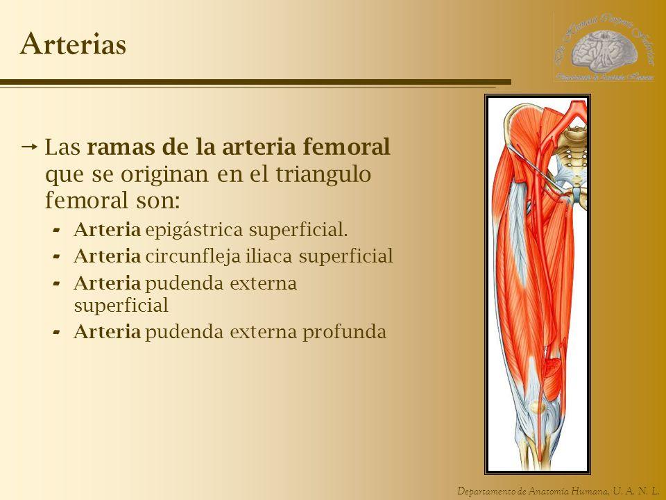 Arterias Las ramas de la arteria femoral que se originan en el triangulo femoral son: Arteria epigástrica superficial.